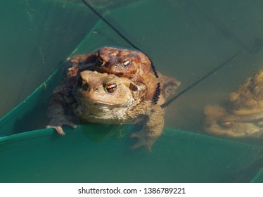 European toad ( Bufo bufo ). Reproduction - Common toads during copulation.