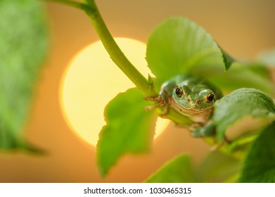 European tree frog climbing on raspberry with sun in background