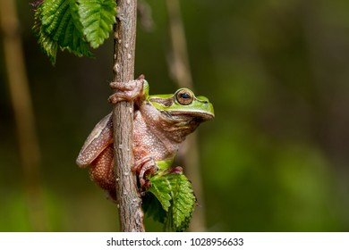 The European tree frog (Hyla arborea) is a small frog that leads an arboreal life, it can be found in Europe, Asia and some parts of Africa. The green color helps her to camouflage in nature