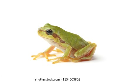 European tree frog (Hyla arborea) isolated on white