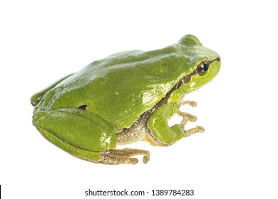 European tree frog (Hyla arborea) isolated on white background - sideview