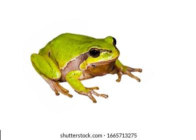 European tree frog (Hyla arborea / Rana arborea) against white background