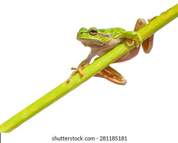European Tree Frog (Hyla arborea) climbing in a right page diagonal green stick, isolated on white background
