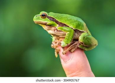 European tree frog on a finger