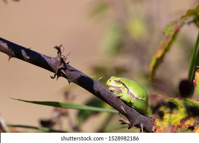 European Tree Frog on thorny bramble bush