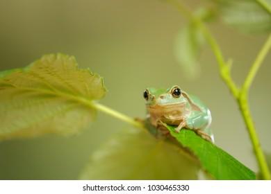 European tree frog sitting on stem of raspberry