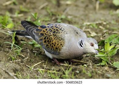 European Turtle dove in natural habitat / Streptopelia turtur