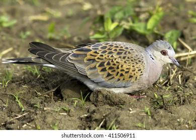 European Turtle dove, Streptopelia turtur