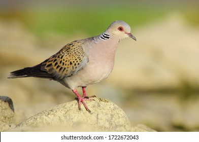 European turtledove spain españa africa migradora bird watching