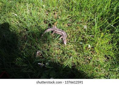 European wall lizard – Podarcis muralis in grass