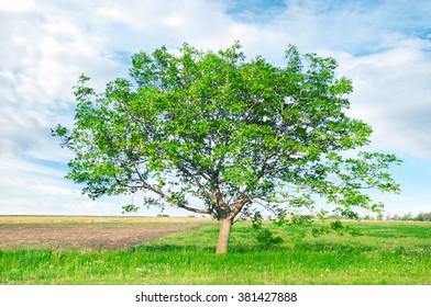 European walnut (Juglans regia) on field