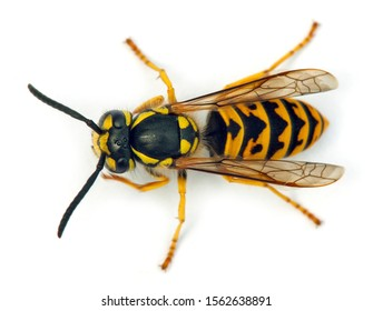European wasp German wasp or German yellowjacket isolateed on white background in latin Vespula germanica