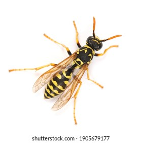 European wasp, Polistes associus, isolated on white background, top view