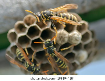 European wasp (Vespula germanica) building a nest to start a new colony.