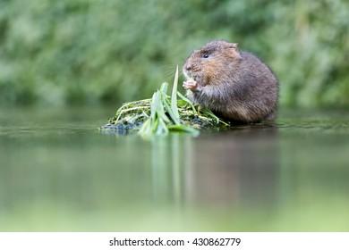 European Water Vole (Arvicola amphibious) - Feeding