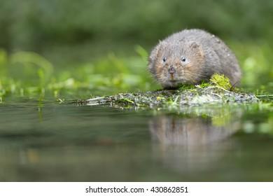 European Water Vole (Arvicola amphibious) - On Mossy Rock