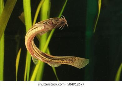 European weather loach, misgurnus fossilis, sviming in the pond