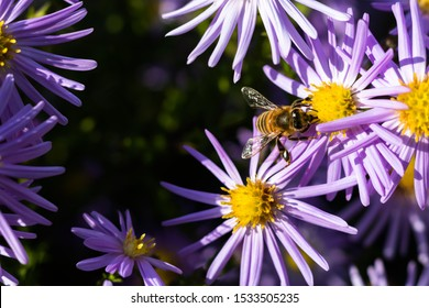 European or western honeybee worker Apis mellifera gathering pollen from violet alpine aster flower Aster alpinus.