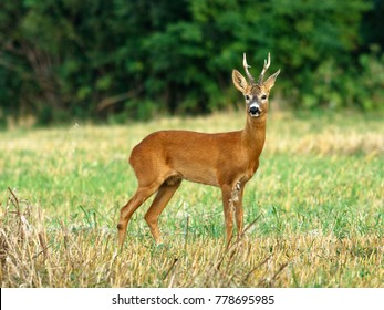 European western roe deer (Capreolus capreolus). Except for Central and Sound Europe lives mostly in Germany, France, United Kingdom (UK), Spain, Italy, Russia and Benelux countries