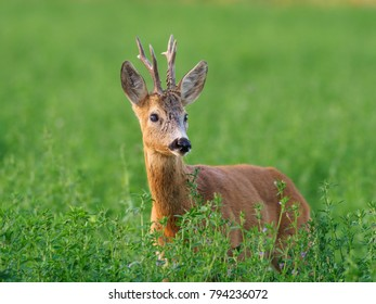 European western roe deer (Capreolus capreolus). Except for Central and Sound Europe lives mostly in Germany, France, United Kingdom (UK), Spain, Italy, Russia and Benelux countries.