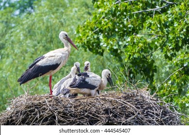 European white stork (Ciconia ciconia) nestlings in a nest in the wild