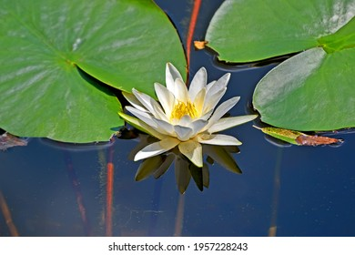 European white water lily aka white water rose aka white nenuphar - aquatic flowering plant (Nymphaea alba) reflected in water in sunny day