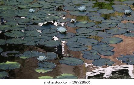 European white water lily (Nymphaea alba)