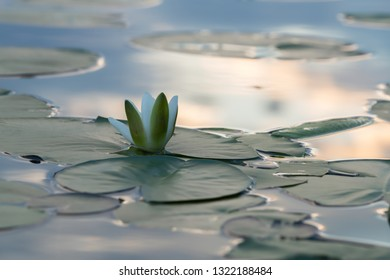 European white water lily, Nymphaea alba in sunset at a calm lake
