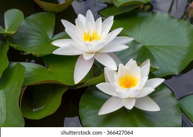 European White Waterlily with Green Leaves Closeup from Above