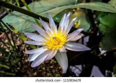 European White Waterlily Water Rose or Nenuphar Nymphaea alba flower close-up.