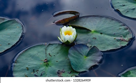 European White Waterlily, Water Rose or Nenuphar, Nymphaea alba, flower close-up, selective focus, shallow DOF