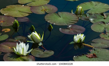 European White Waterlily, Water Rose or Nenuphar, Nymphaea alba, flowers at pond close-up, selective focus, shallow DOF