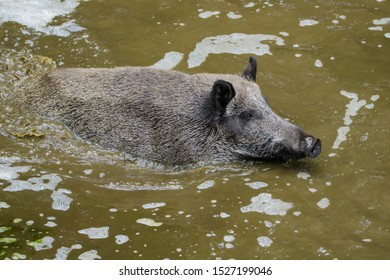European wild boar looking for food in a puddle of mud