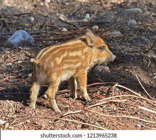 European wild boar piglet with stripes, characteristic feature of piglets. Small piglet