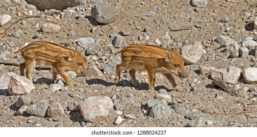 European wild boar piglet with stripes, characteristic feature of piglets. Two funny and pretty piglets