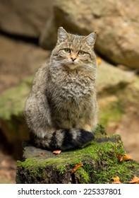 European Wild Cat (Felis silvestris) sitting on a rock.