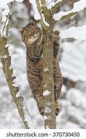A european wildcat climbing a tree