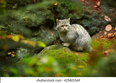 European Wildcat, Felis silvestris, in european autumn forest, sitting on mossy rock in autumn coniferous forest. Typical environment, Europe.