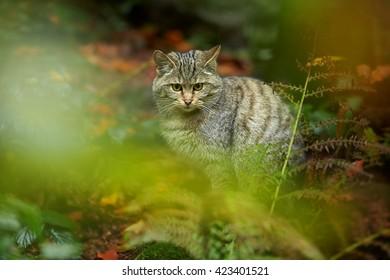 European Wildcat, Felis silvestris, hidden among vegetation in wet european autumn forest, lurking for prey.