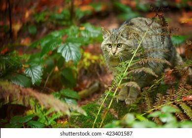 European Wildcat, Felis silvestris, in movement  on colorful autumn fallen leaves in wet european forest, looking for prey.