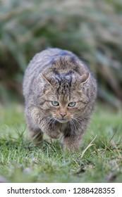 European Wildcat hunting, Felis silvestris
