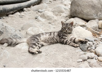European wildcat with silver marble fur, beautiful cat on rocky stones in Samaria gorge, Crete island in Greece