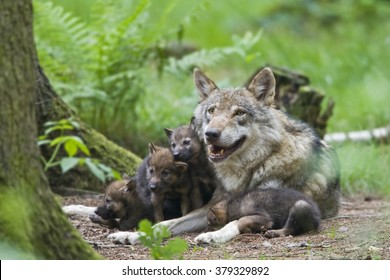 European wolf (Canis lupus lupus) with pup, puppy