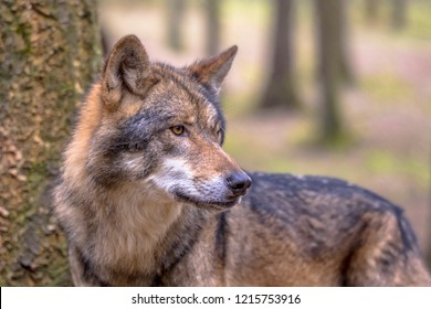 European Wolf (Canis lupus) sideview in natural forest habitat looking to side