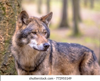 European Wolf (Canis lupus) sideview in natural tree forest habitat looking to side