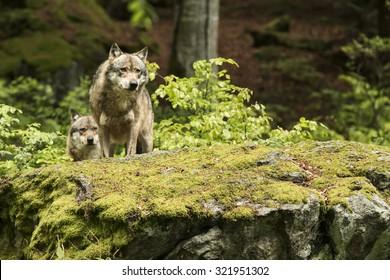 European wolf, Europaeischer Wolf, Canis lupus, wolf, CZECH REPUBLIC.