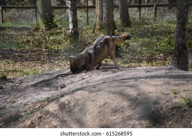 European wolf in the forest