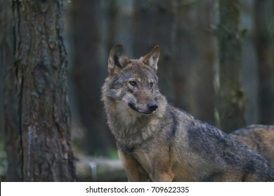 european wolf, gray wolf, Canis lupus lupus