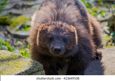 European wolverine male at spring