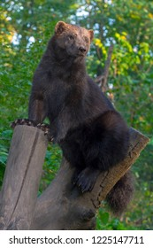 European wolverine on a tree